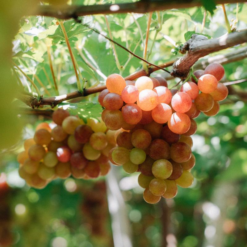 加州無籽葡萄 / CALIFORNIA Seedless grape